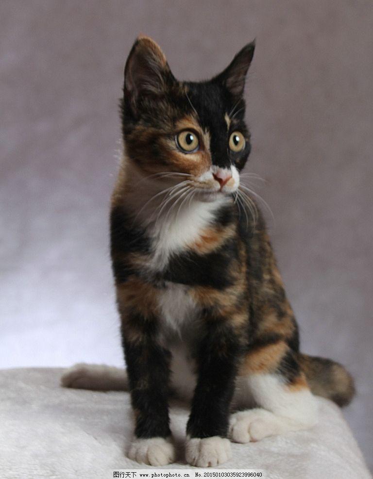 专注的猫 黑色 白色 黄色 观察 优美的坐姿 动物 摄影
