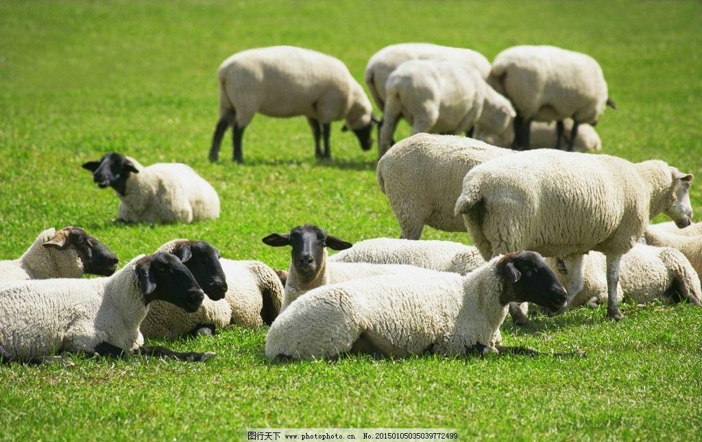动物羊 羊 动物 绵羊 白色