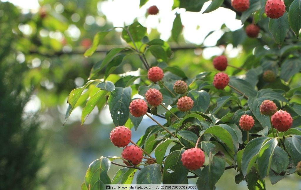 植物 四照花 果实 红色 美丽 摄影 生物世界 树木树叶 72dpi jpg