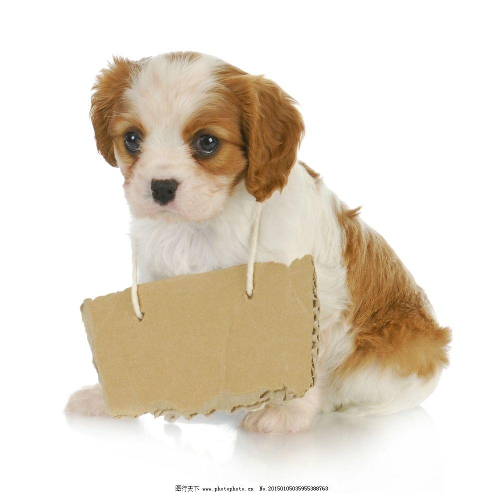 挂牌小狗狗可爱的图片,可爱小狗 小狗狗图片 超萌小狗