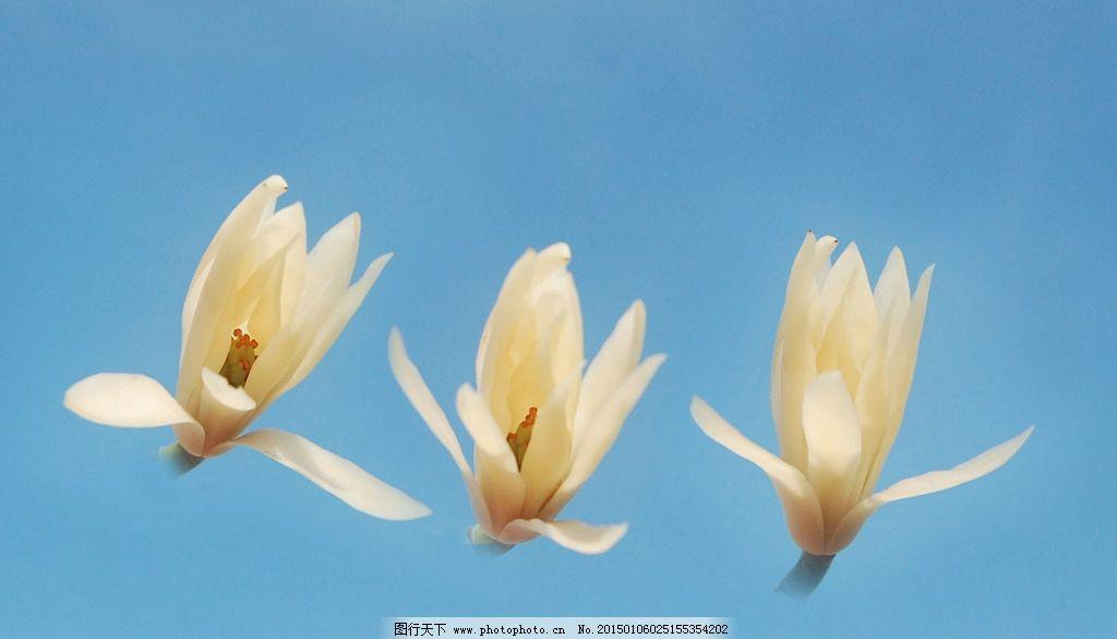 缅桂花图片