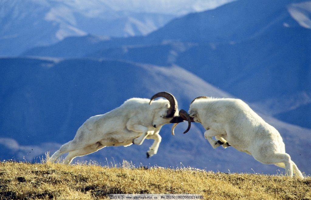 动物羊 羊 动物 绵羊 白色 摄影 生物世界 野生动物 争斗 打架 摄影