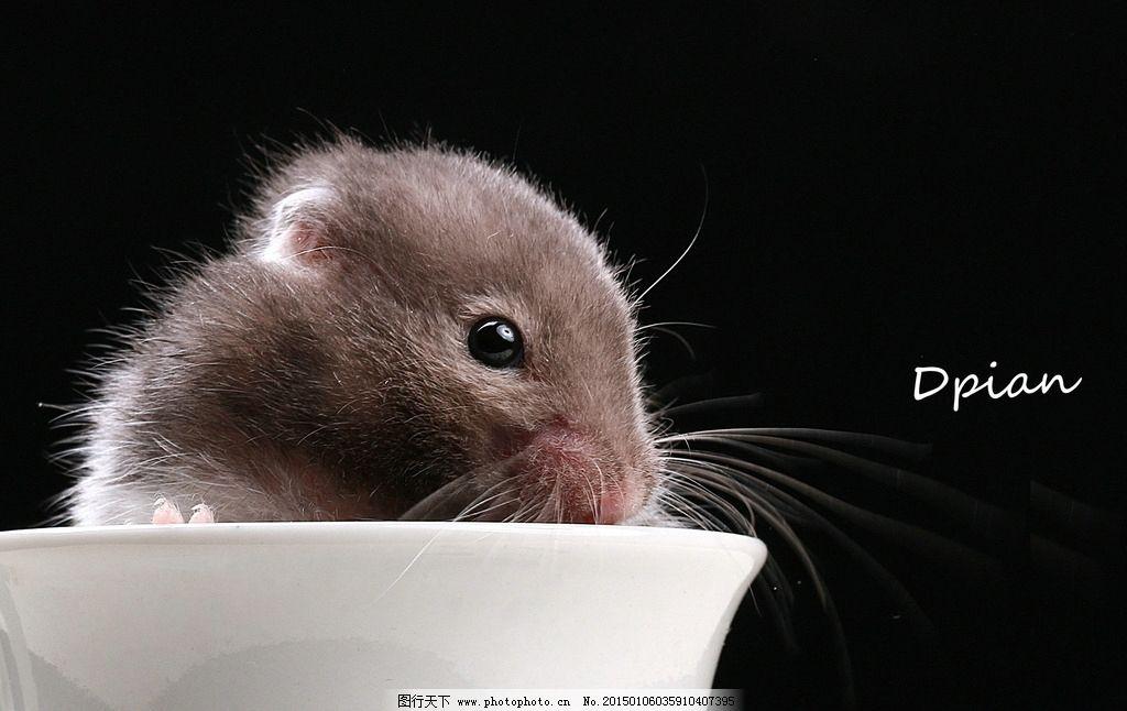 仓鼠 老鼠 宠物 小动物 摄影 摄影 生物世界 家禽家畜 254dpi jpg