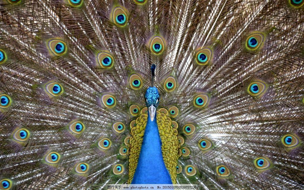 孔雀开屏 野生动物 鸟类 生物世界 孔雀 摄影 生物世界 鸟类 300dpi