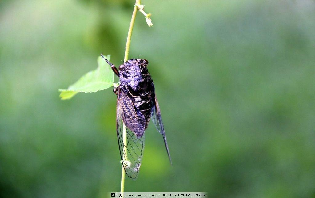 唯美 蝉 昆虫 动物 知了 摄影 生物世界 昆虫 72dpi jpg