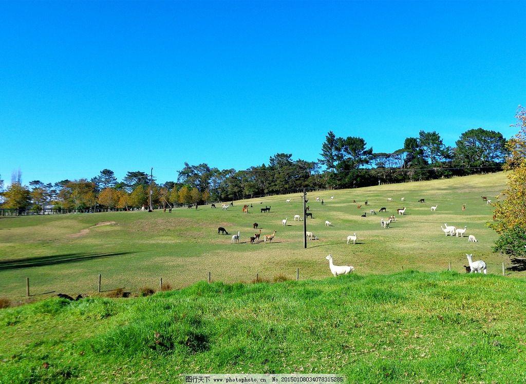 山坡 蓝天 白云 树木 绿地 草地 驼羊群 新西兰风光 摄影 旅游摄影 国