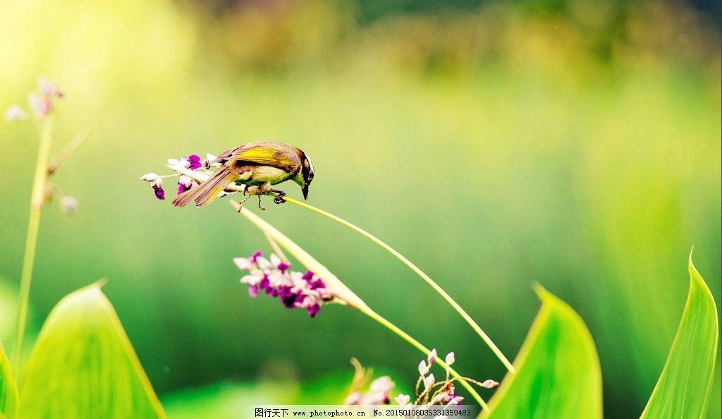 唯美 鸟 动物 可爱 白头鹎鸟 自然 摄影 生物世界 鸟类 300dpi jpg