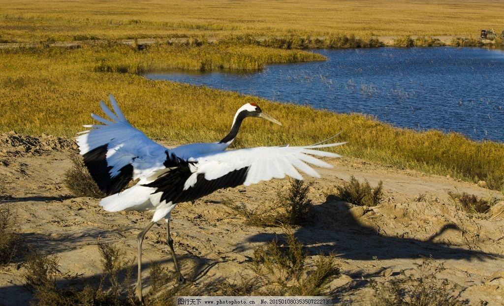 湿地 白鹤亮翅 丹顶鹤 白鹤 丹顶鹤起飞 动物 低碳环保 芦苇 水面