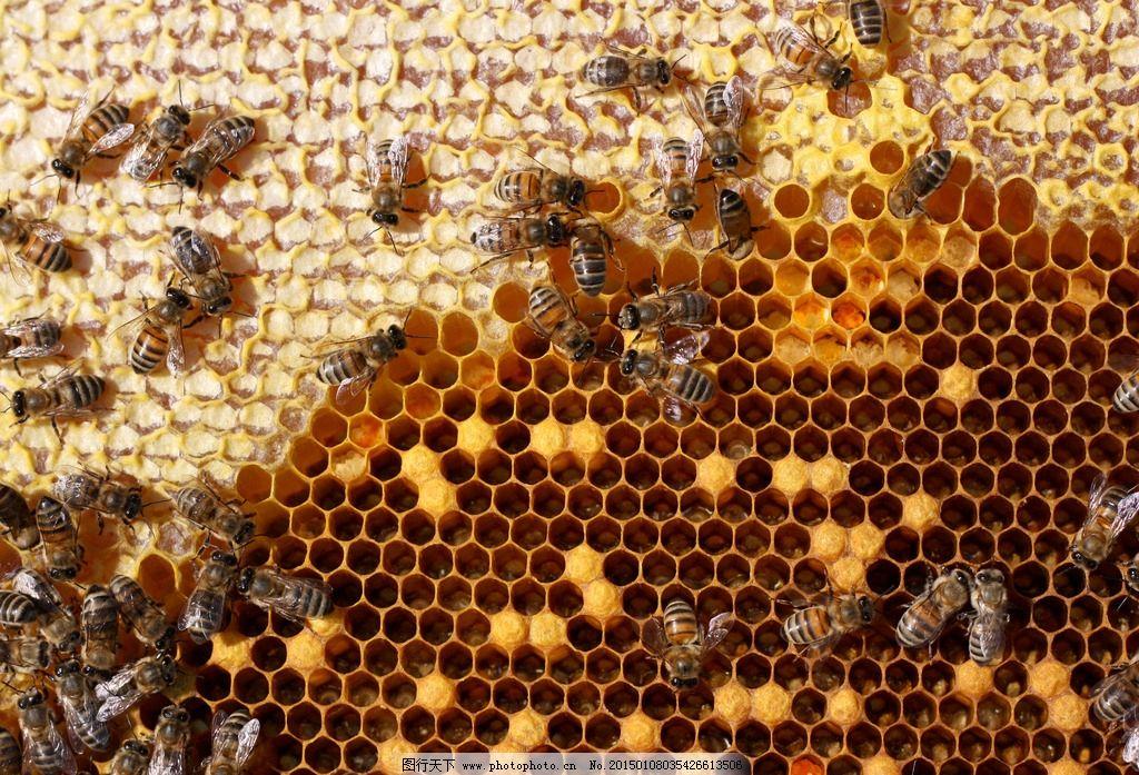 黄色录象_蜂巢蜜蜂图片_昆虫_生物世界_图行天下图库