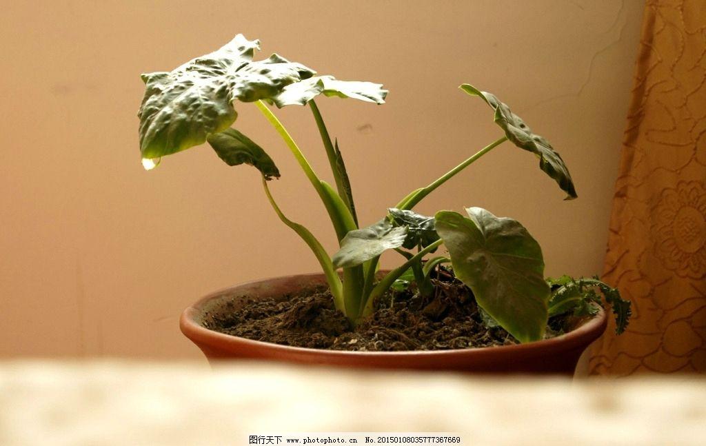 滴水观音 花卉 植物 盆栽 微观世界 摄影