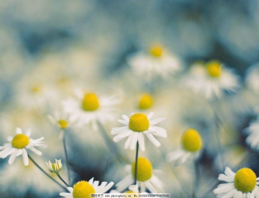 小雏菊唯美背景图图片