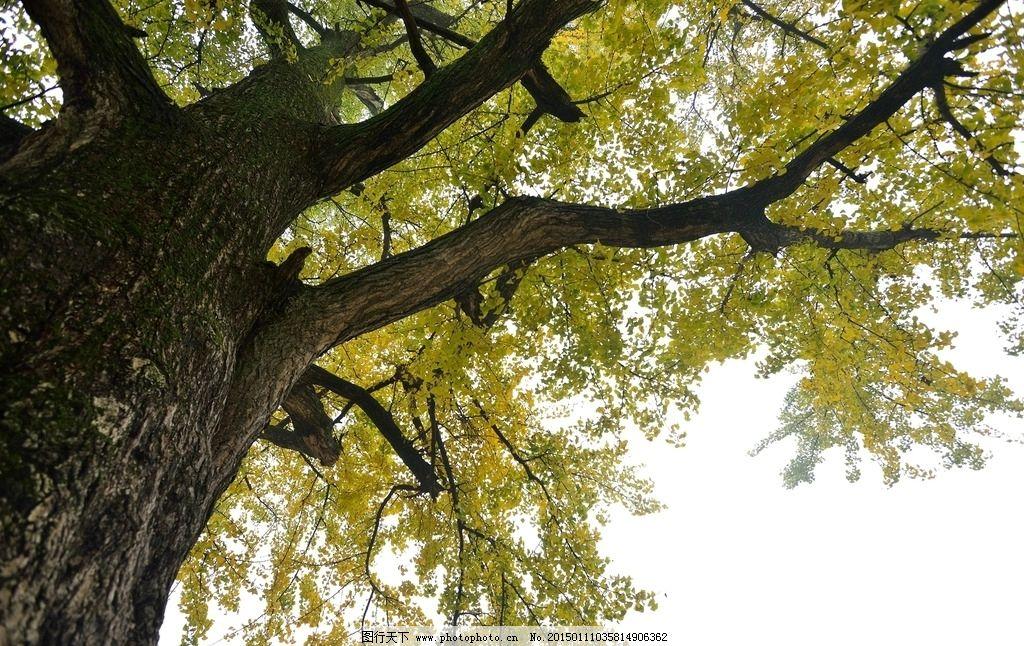 景观设计银杏树手绘效果图