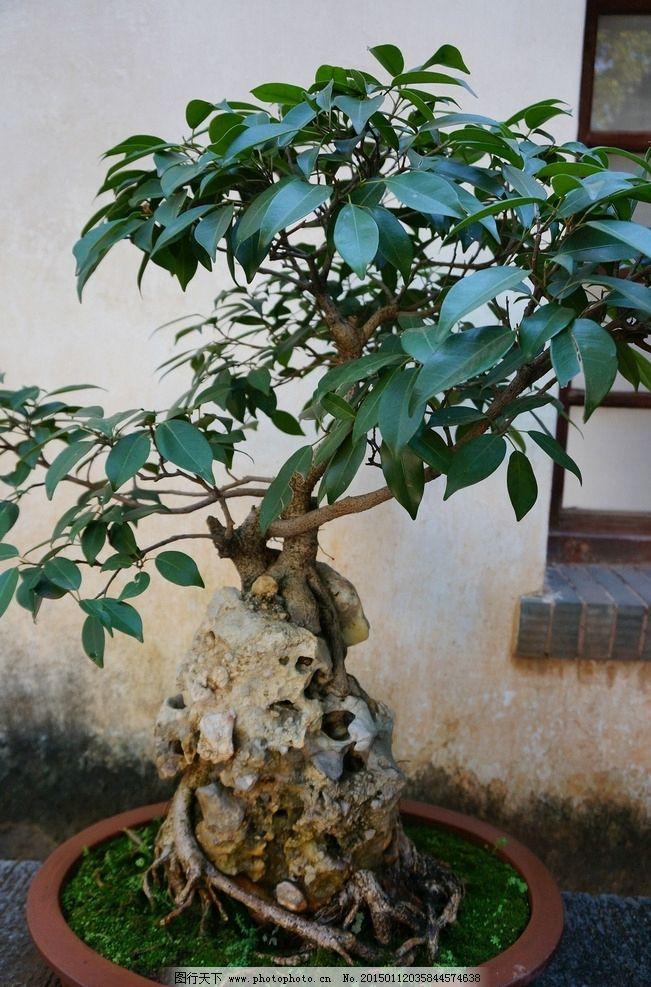 树桩盆景图片_树木树叶