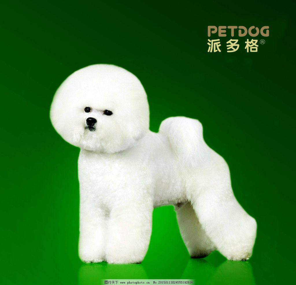 可爱的 萌货 白毛 渐变背景 派多格 宠物 设计 生物世界 家禽家畜 150