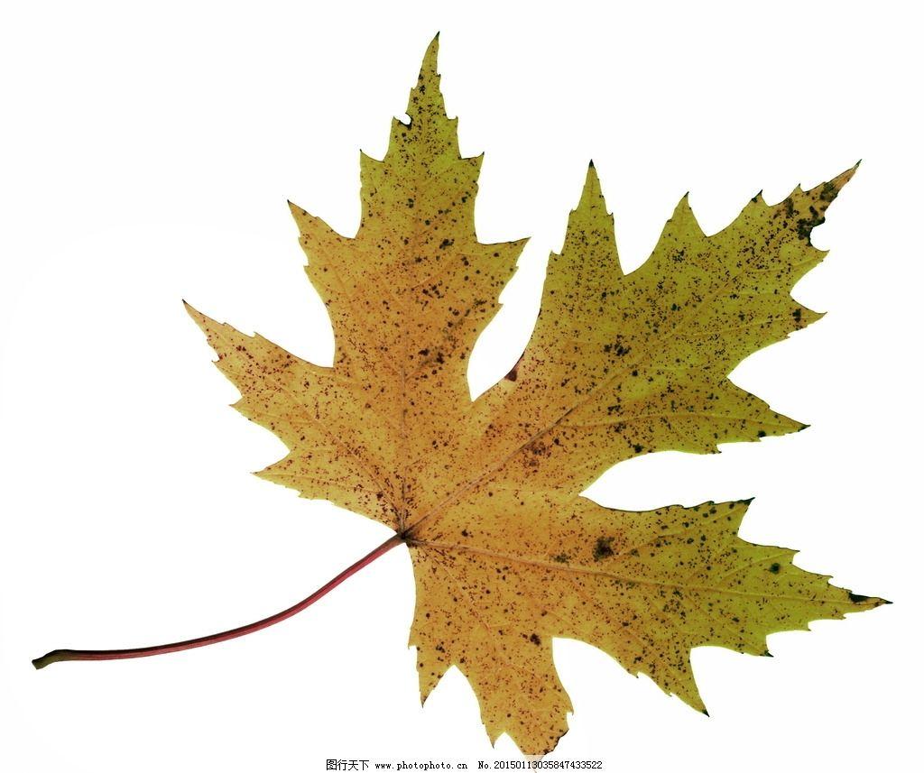树叶标本图片