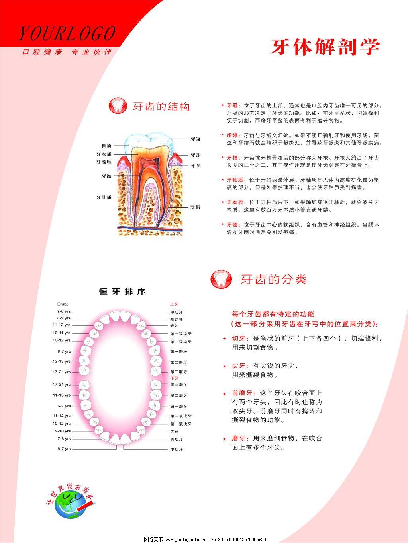 牙体解剖学 牙体解剖学免费下载 口腔 牙齿 牙科 牙齿结构 恒牙排序