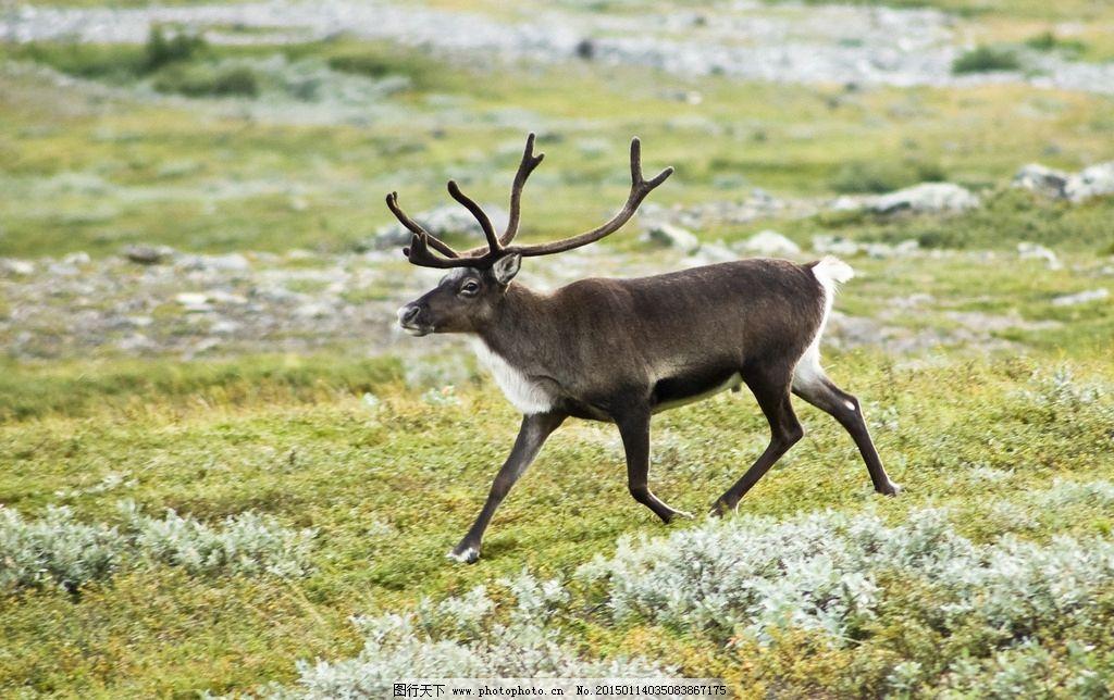 森林 驯鹿 自然 小清新 森女 植物动物摄影 摄影 生物世界 野生动物 2