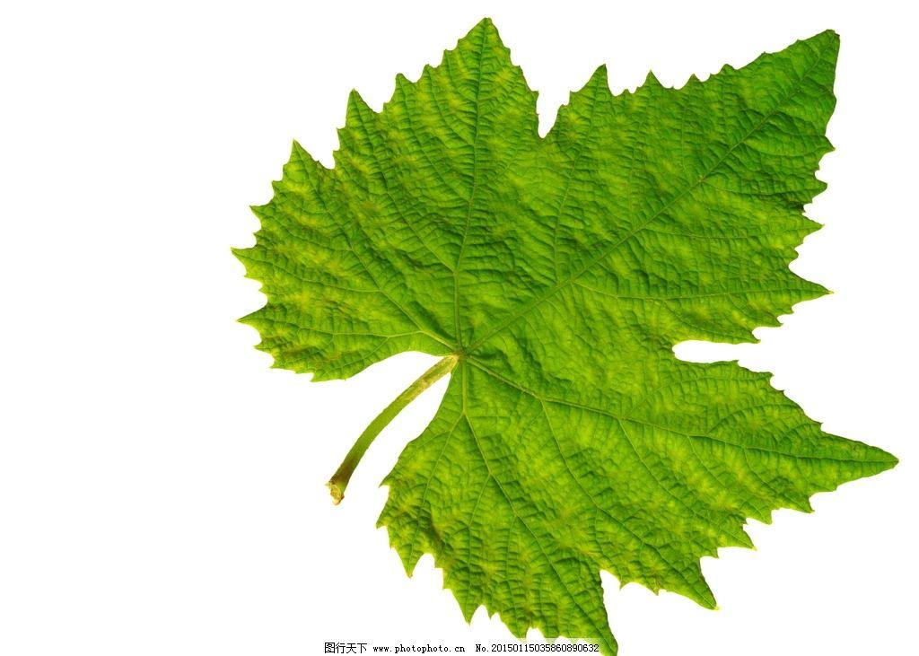 绿色葡萄叶 绿叶 树叶 叶脉 叶子 翠绿 纹理 摄影