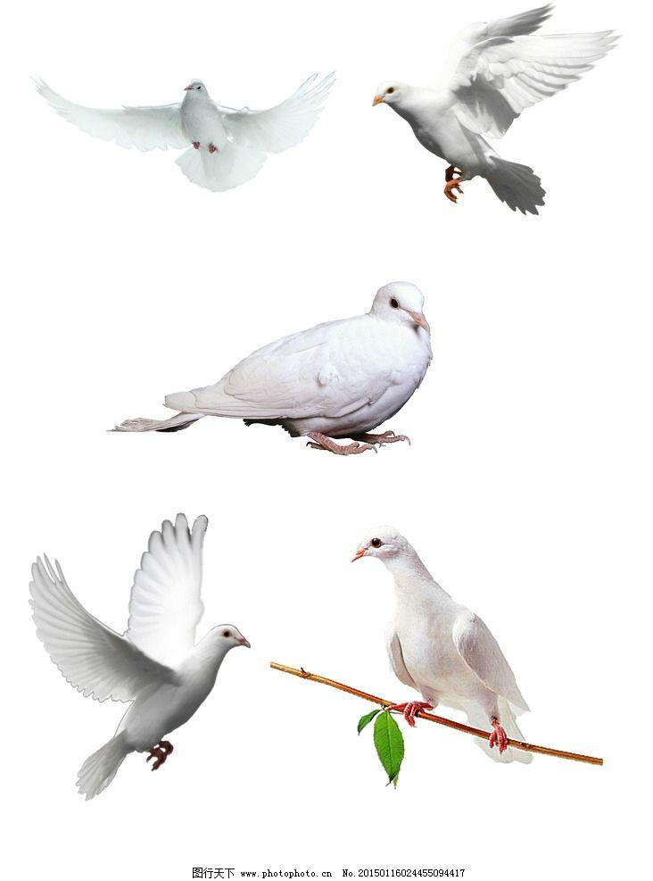 飞行 动物 鸽子 psd 素材 分层 设计 生物世界 野生动物 300dpi psd