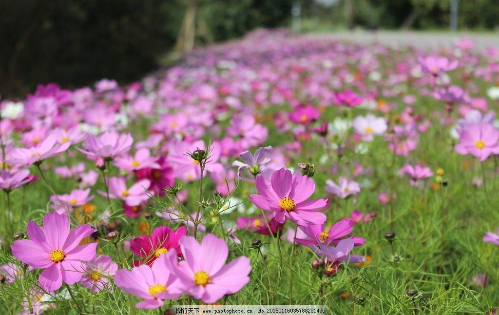 格桑花 格桑梅朵 植物 美丽 幸福 格桑花 摄影 生物世界 花草 72dpi