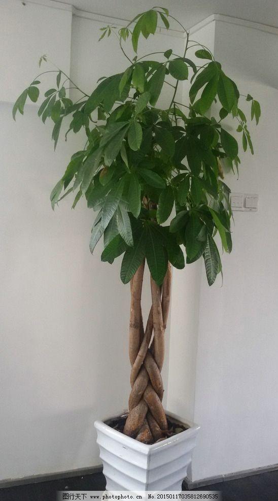 发财树 绿色植物 室内植物 绿树 植物 装饰物 花盆 花 草 树木 摄影