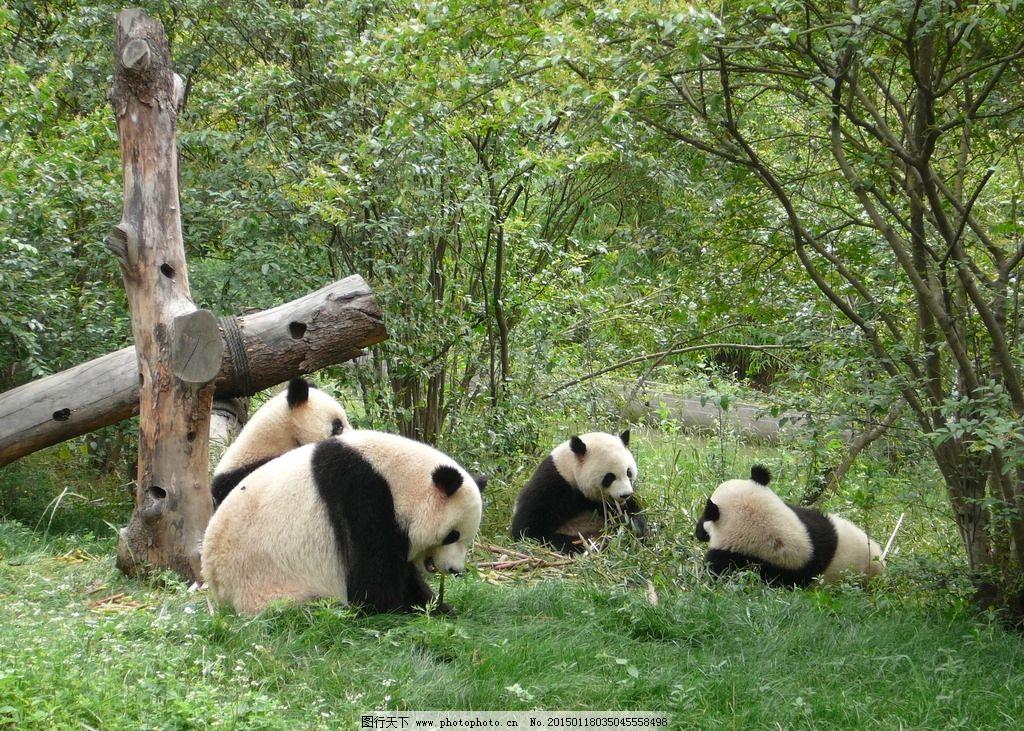 熊猫 四川 动物 公园 休闲 摄影 生物世界 野生动物