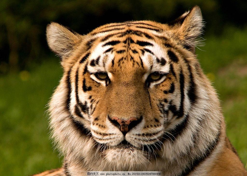 东北虎 老虎 动物 动物摄影 特写 自然 生物 野生动物 飞禽走兽