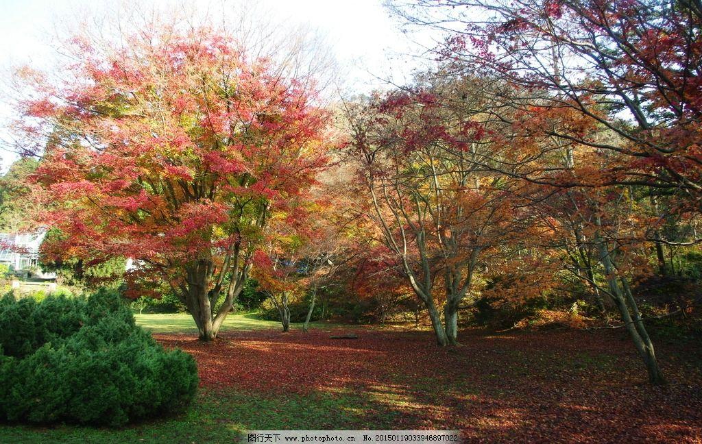 庐山 旅游 秋天 深秋 秋景 红叶 枫叶 枫树 植物园 红叶满地 庐山