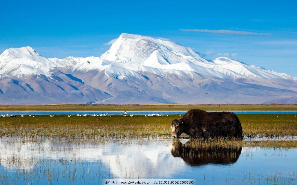 西藏 风情 牦牛 神山 雪山 圣湖  摄影 旅游摄影 自然风景 240dpi jpg