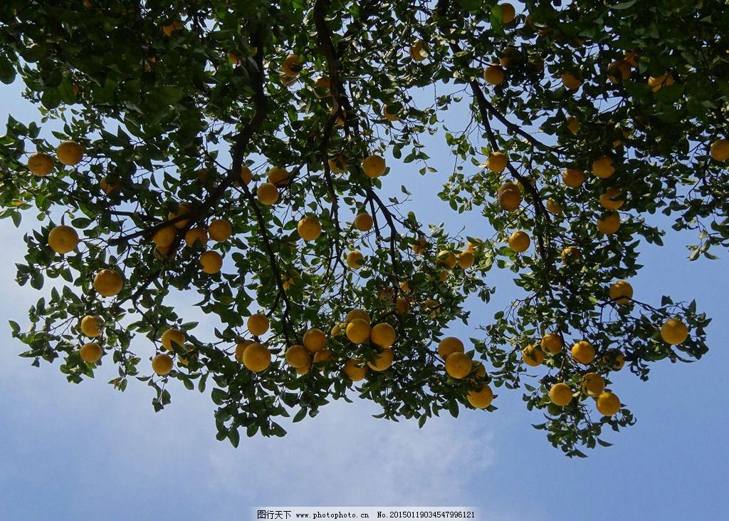 柚子嫁接树木的方法图片