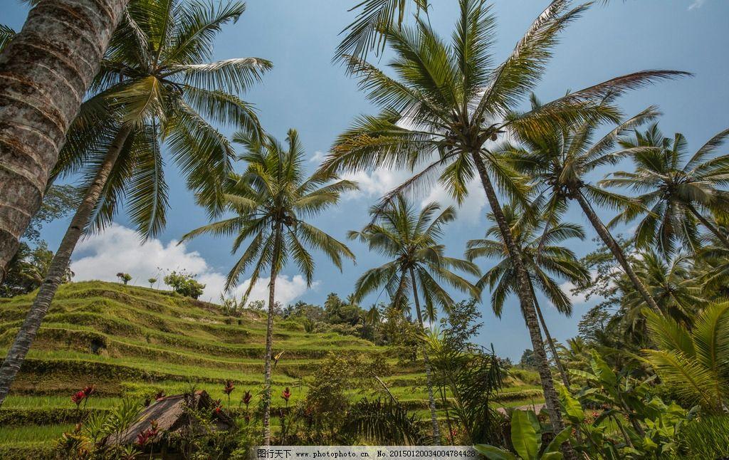椰林与梯田图片,印尼 巴厘岛 旅游胜地 神明之岛 绮丽