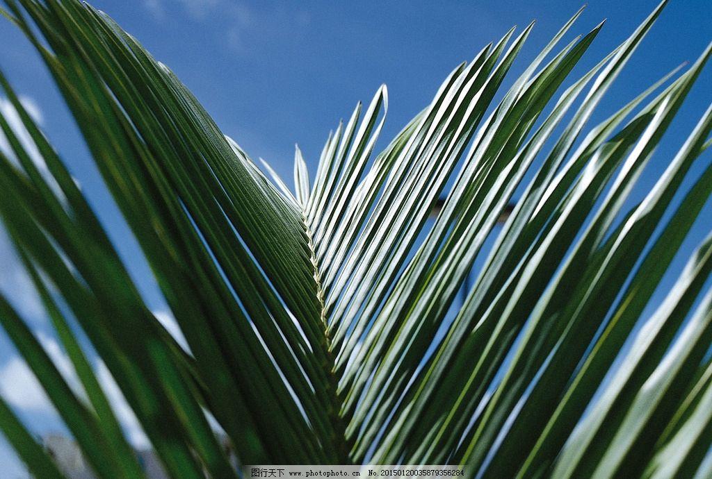 沙滩椰子树 树林 椰子树绿叶 椰子树叶摄影 风景图片