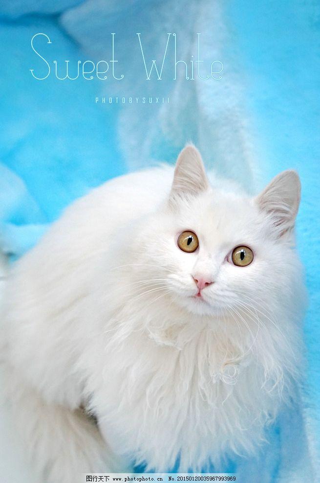 猫咪 白猫 摄影 宠物 长毛猫 萌 可爱 动物 喵星人 萌猫 萌猫咪