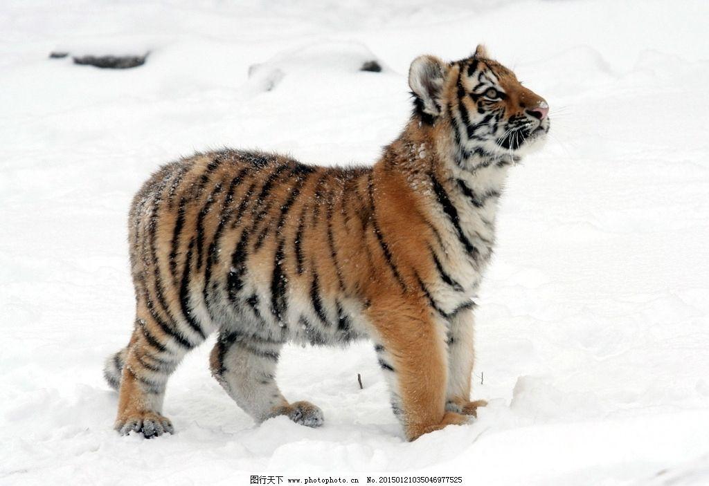 小虎崽 小老虎图片_野生动物