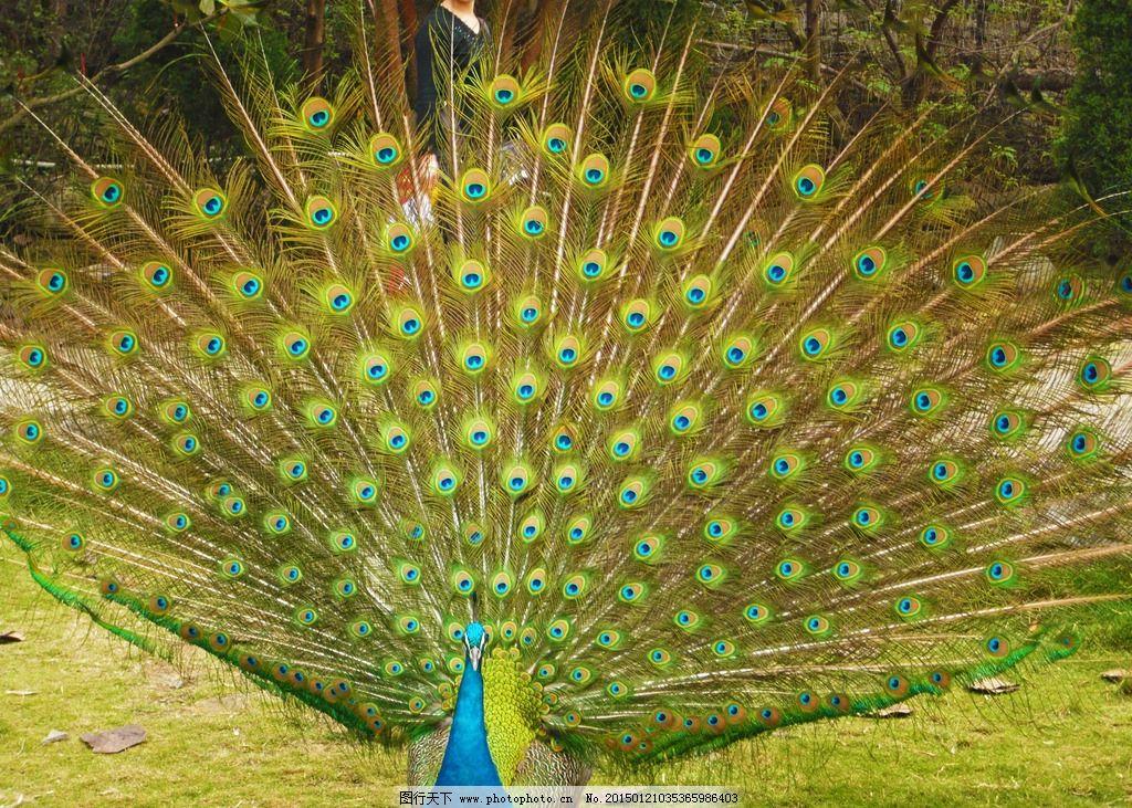 动物 鸟类 孔雀 开屏 蓝孔雀 美丽孔雀  摄影 生物世界 鸟类 72dpi