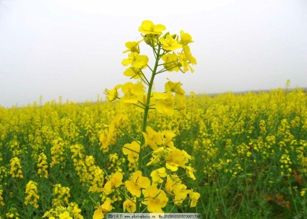 油菜花特写 油菜花田 油菜花地 花海 花朵 花卉 植物 种植 庄园