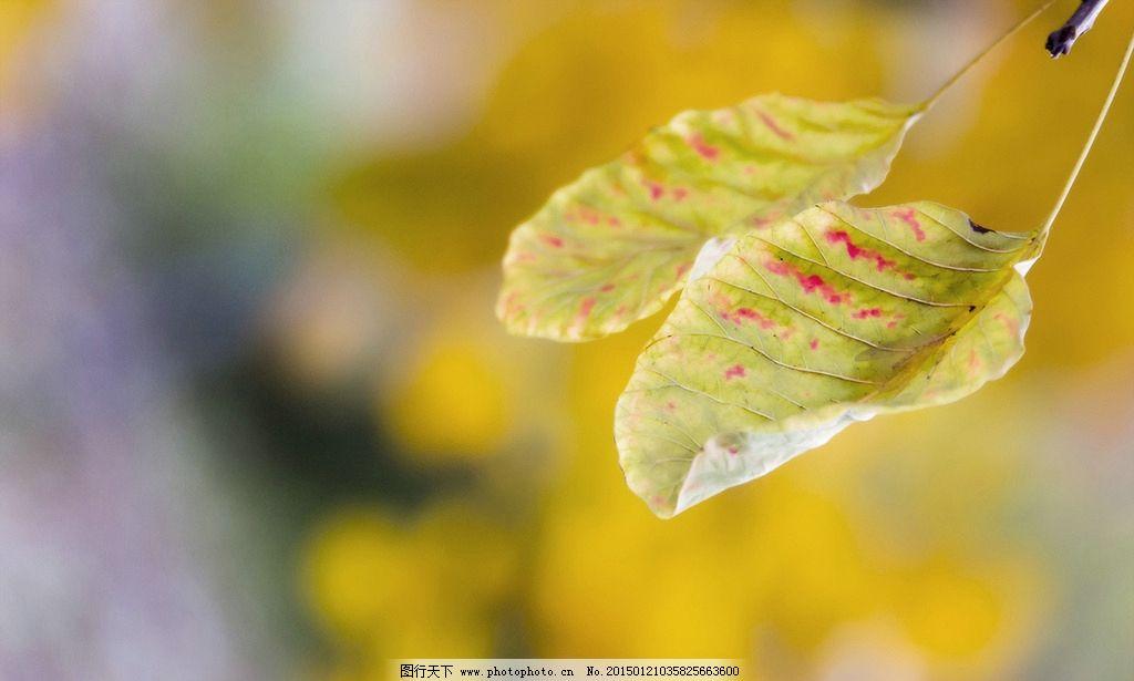 秋天 树叶 黄色 树叶背景 叶子 摄影 生物世界 树木树叶 240dpi jpg