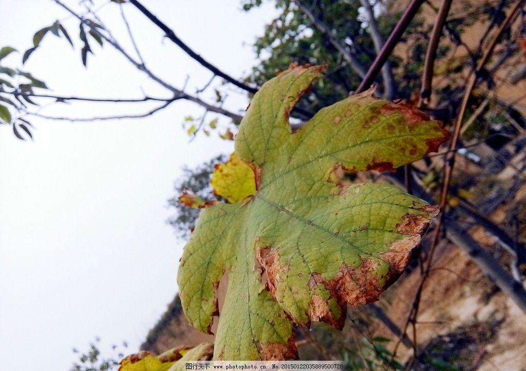 树叶 枯叶 干枯 葡萄叶子 秋天 绿叶 树木树叶 摄影 生物世界 树木