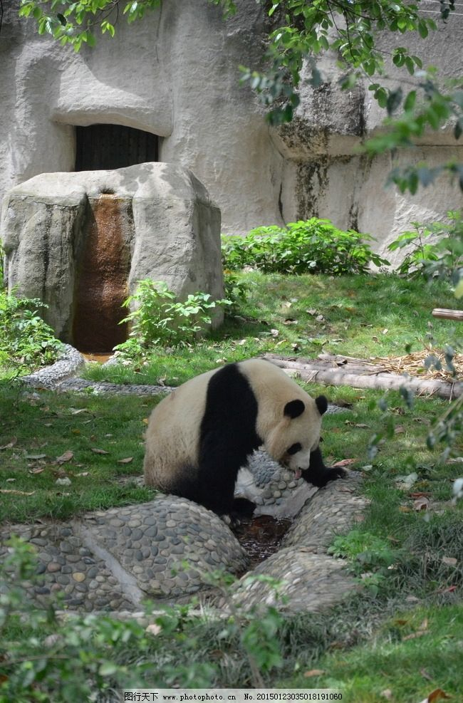 四川 成都 健健 康康 国宝大熊猫 动物 摄影 生物世界 野生动物 300