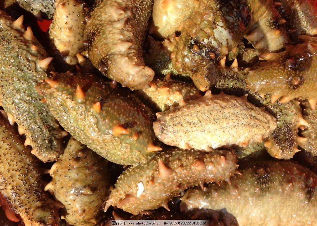 海参 养殖动物 参圈 动物 参 摄影 生物世界 海洋生物 72dpi jpg