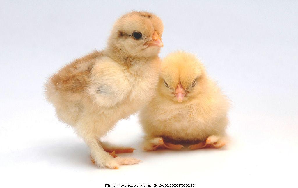 唯美 可爱 动物 家禽 鸡 摄影 生物世界 家禽家畜 300dpi jpg