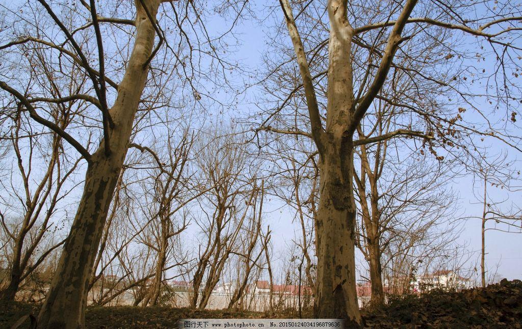 梧桐树 树枝 树林 天空 农村房屋 蓝天 落叶 树杆 摄影 旅游摄影 自然