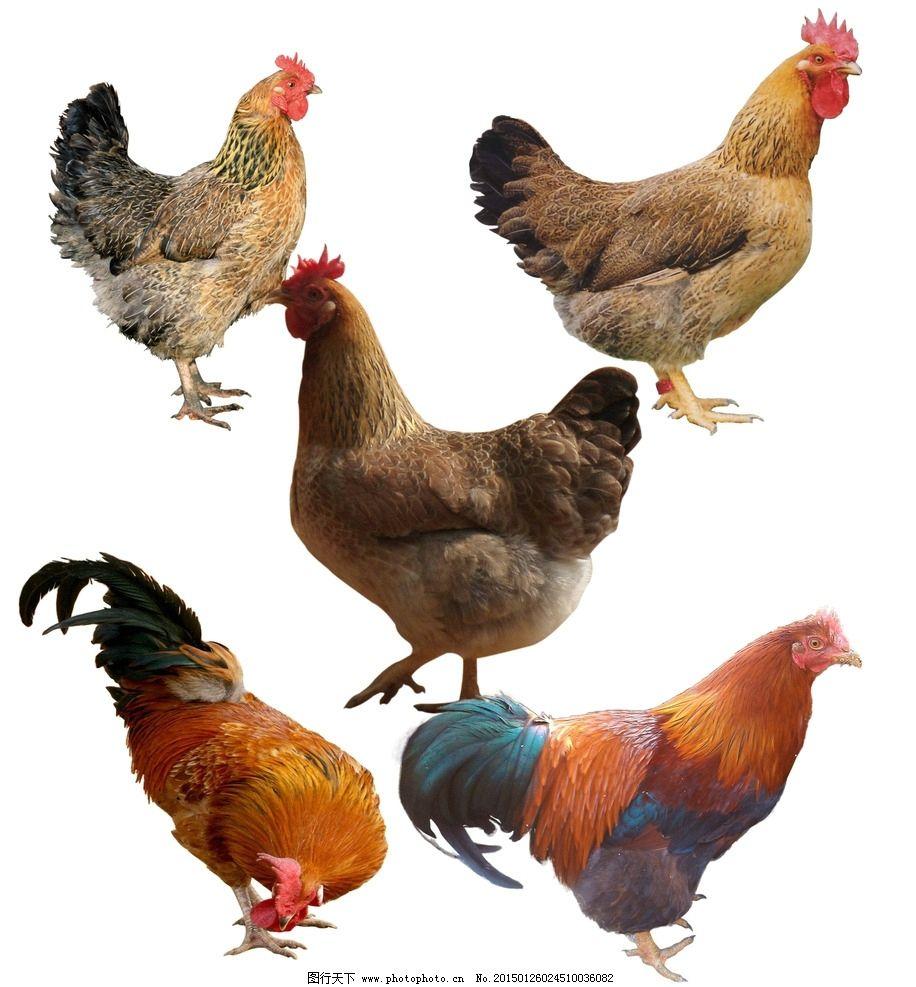 公鸡 母鸡 ps素材 动物 家禽 设计 生物世界 家禽家畜 200dpi psd