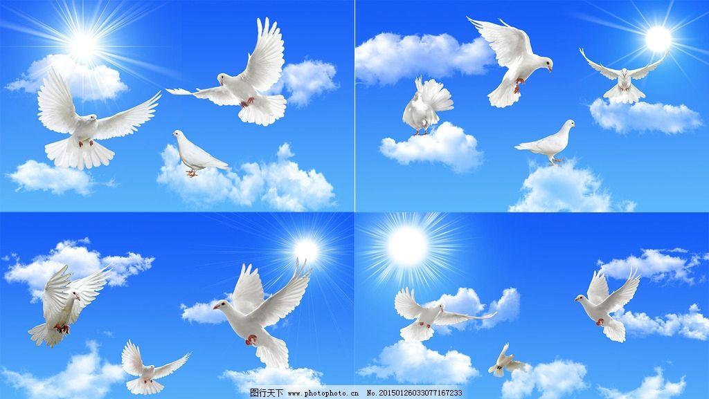 鸽子素材 3d鸽子 矢量鸽子 白鸽子 灰鸽子 蓝色鸽子 手绘鸽子 和平