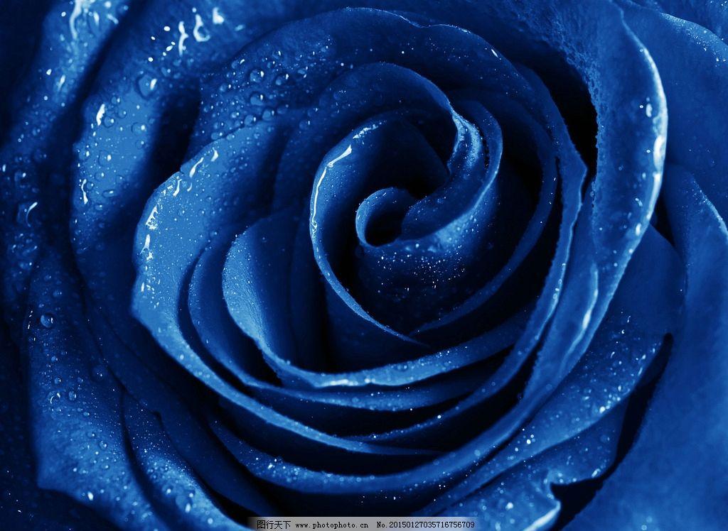 蓝色妖姬玫瑰花图片