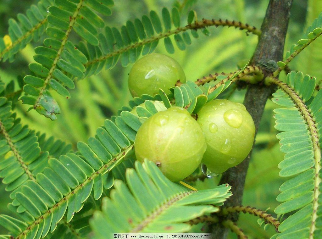 橄榄 果子 绿色橄榄 橄榄叶图片