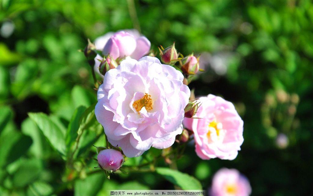 矮玫瑰 花朵 公园 花 景色
