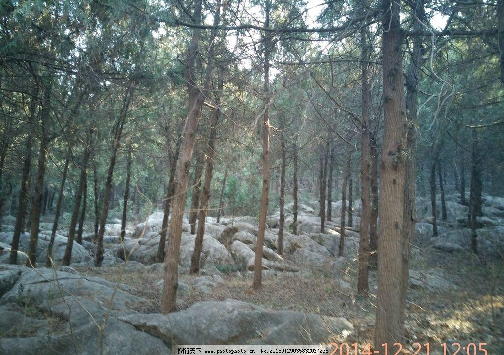 松林石景 松树林 松树丛 石头 石头美景 松林摄影 摄影图
