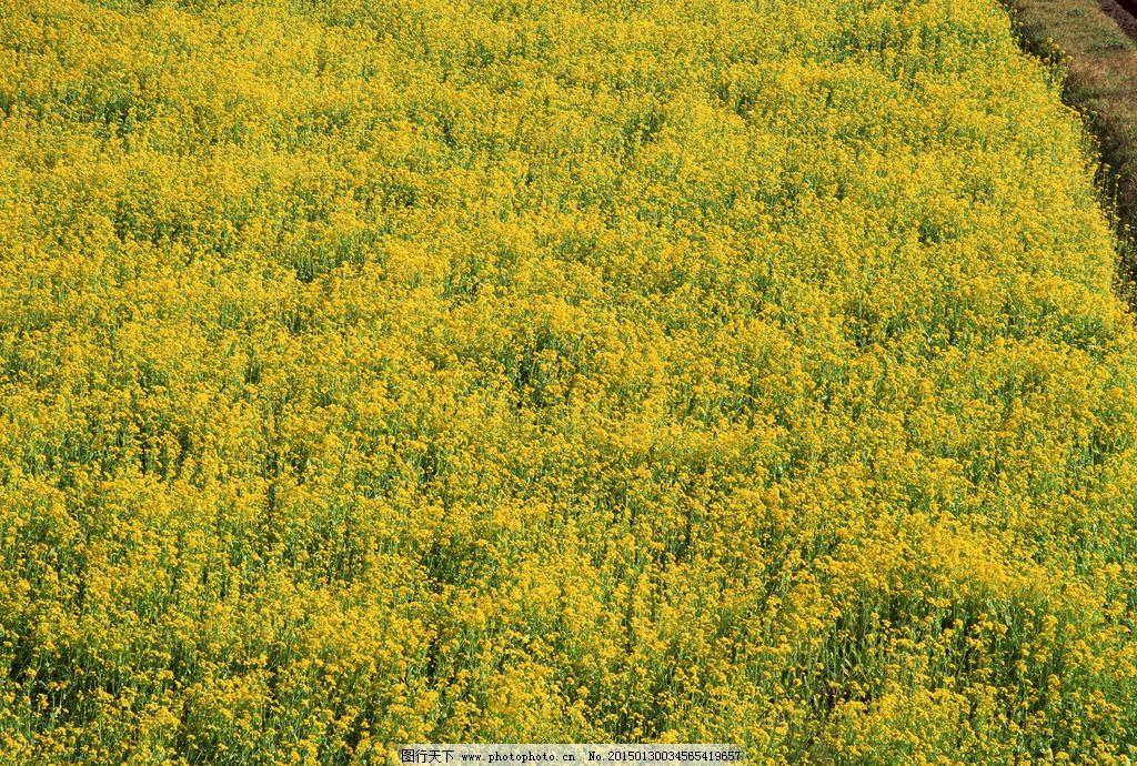 田地 庄家 油菜花 花 野菜 摄影 自然景观 田园风光 350dpi jpg