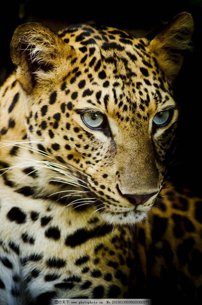 唯美 炫酷 凶猛 动物 野生动物 豹子 摄影 生物世界 野生动物 300dpi